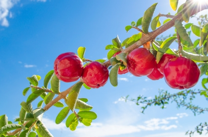 Acerola, riche en vitamines C