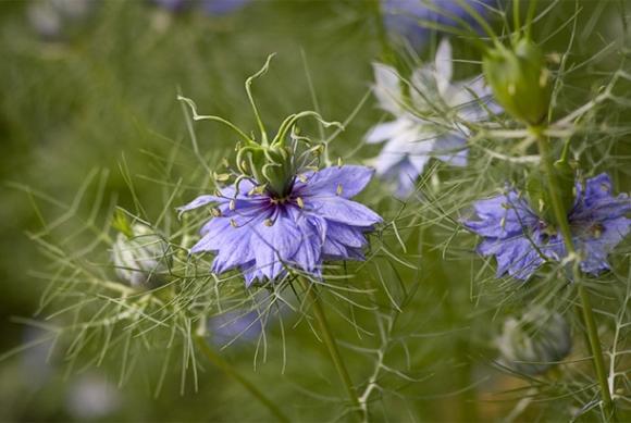 La nigelle contre la migraine et les vertiges for Plante nigelle