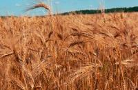 L'huile de germe de blé
