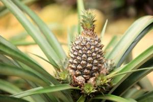 L'ananas riche en bromélaïne