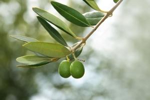 L'olivier dont on tire l'huile d'olive