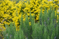 Le romarin, la plante qui redonne la jeunesse